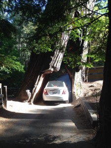 Drive through tree