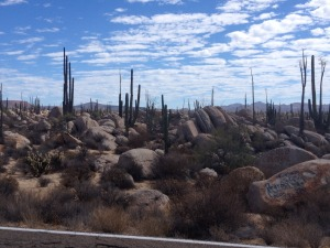 Some cactus near Catavina