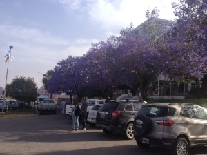 Mati at Universidad Nacional La Rioja, the trees were covered with purple flowers